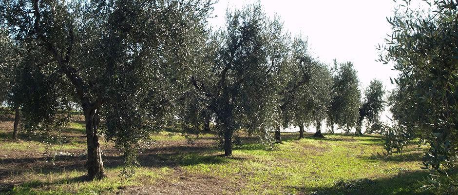 oliveto.jpg