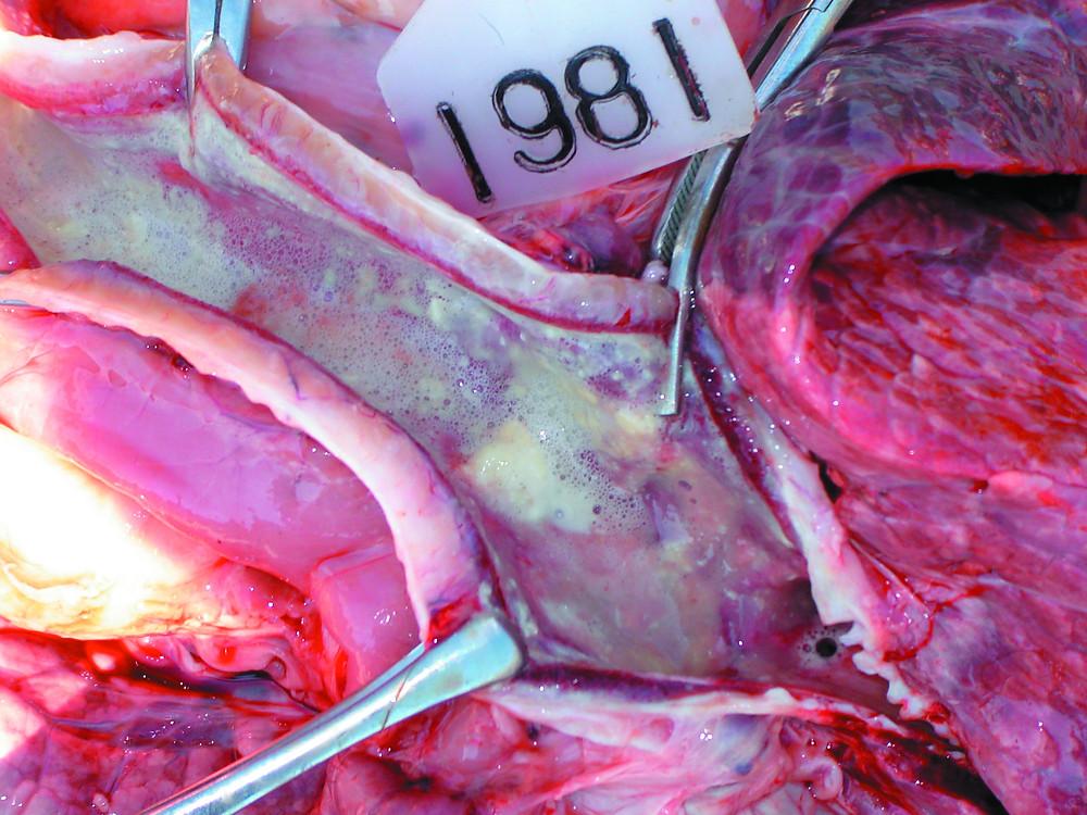 Трахеит у теленка при респираторной форме ИРТ