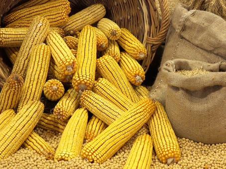 Российская кукуруза экспортируется в Китай