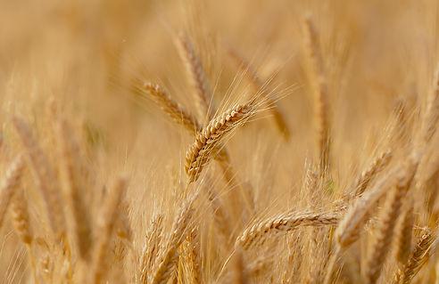 wheat-3241114.jpg