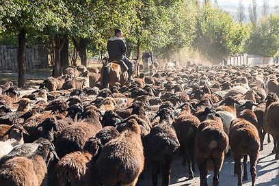 Fårflock Kirgizistan