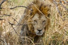 Lejon, Mikumi, Tanzania