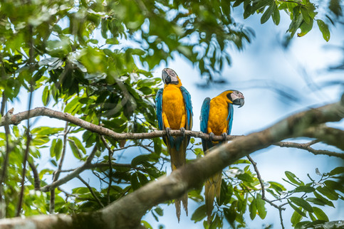 Macaw, Cuyabeno, Ecuador