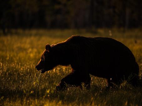 Att jaga björn