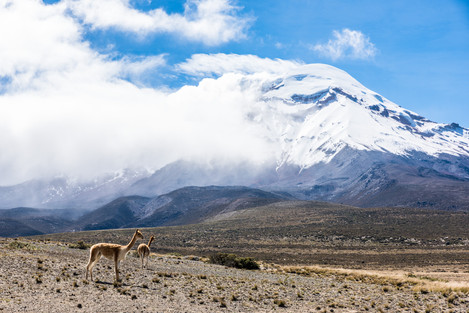Vicuñas vid Chimborazo, Ecuador