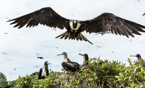 Fregattfåglar, Ecuador