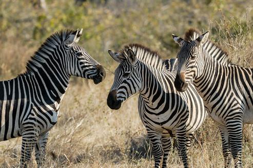 Zebror, Mikumi, Tanzania