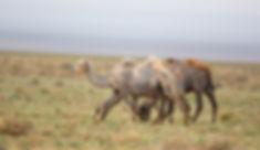Kameler Mongoliet
