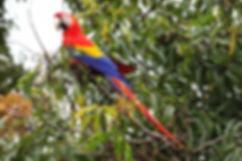 Scarlet-Macaw-cr.jpg