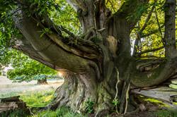 Äkta kastanj, Cowdray Park, England
