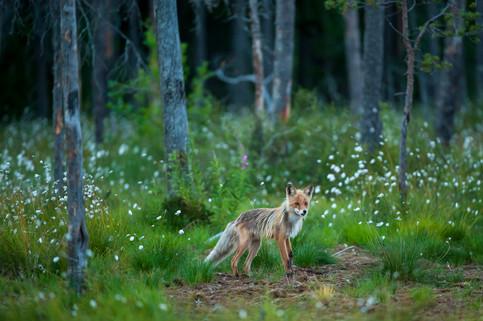 Räv, Vartius, Finland