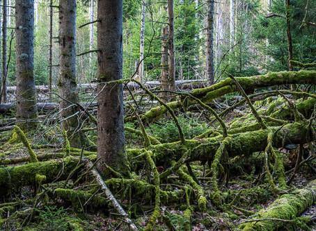 Skogsoreda
