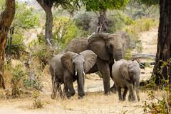 Elefanter, Ruaha, Tanzania