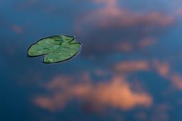 Näckrosblad i tjärn