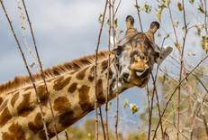 Giraff, Ruaha, Tanzania