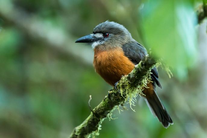 Whitefaced nunbird, Bella Vista, Ecuador