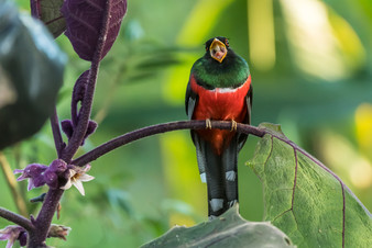 Masked Trogon, Bella Vista, Ecuador
