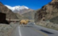 Kamel i Kina