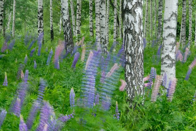 Lupinfält i blåst, Hällefors, Västmanland