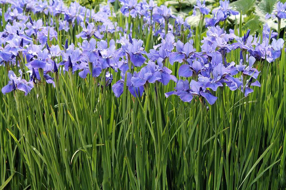 field-of-irises