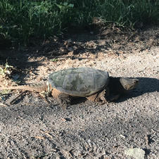 Snapping Turtle On the LoBo Trail