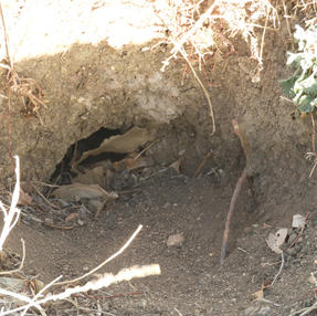 Prairie Dog Hole Partly Covered With Leaves, January 2021