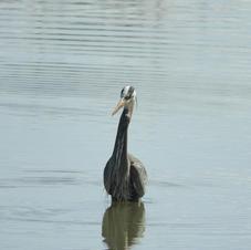 Great Blue Heron at Twin Lakes