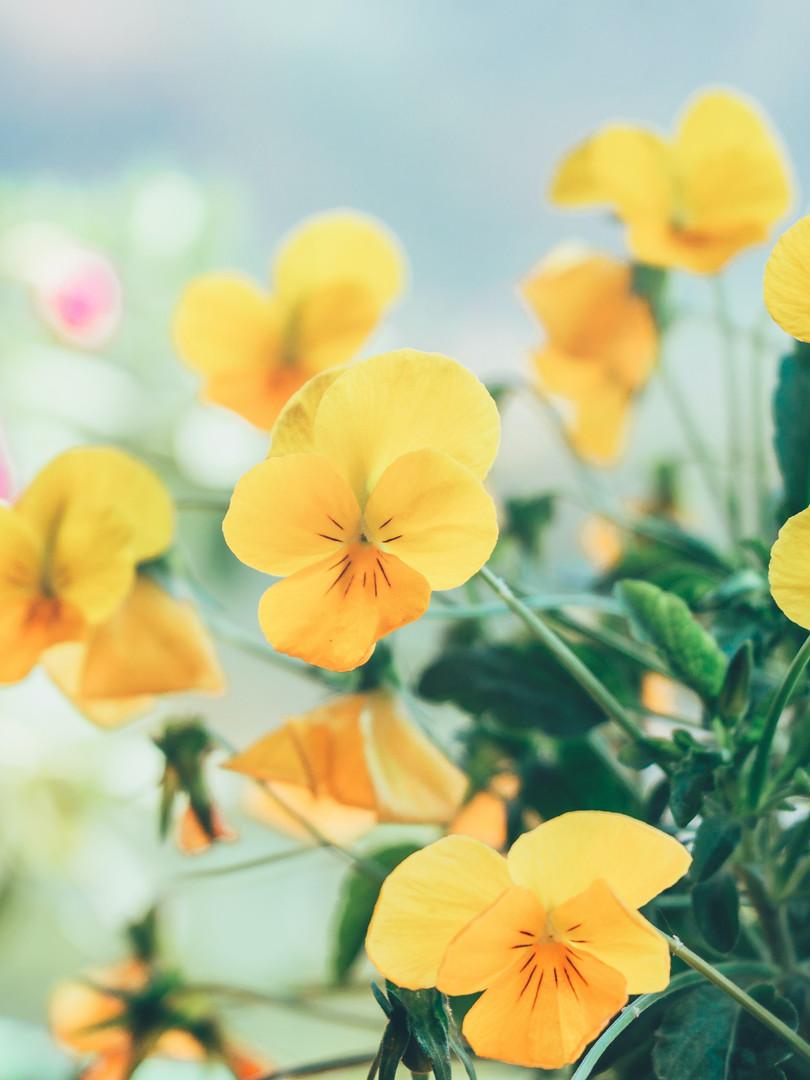 yellow-flowers-1103715.jpg