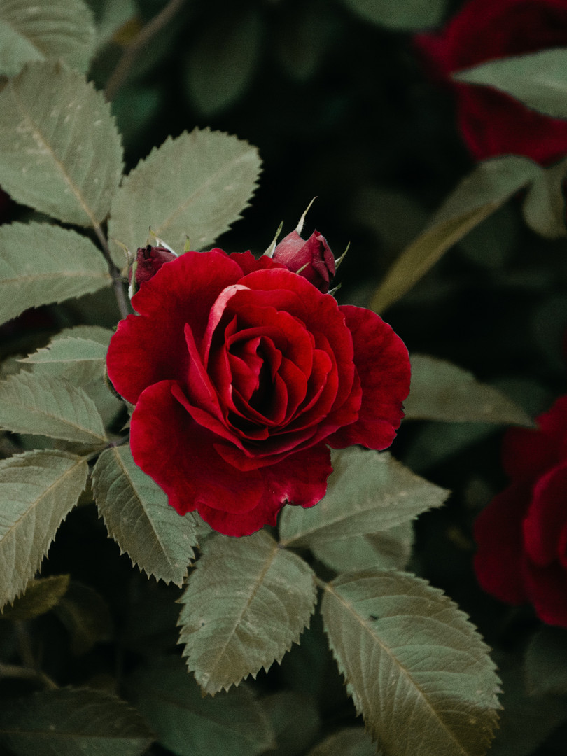 shallow-focus-photography-of-red-rose-12
