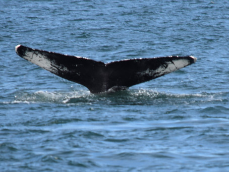 Whale Watching & NYC Skyline Sunset Cruises Debuting on Seastreak Ferry