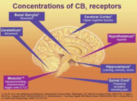 CB1 receptors in the brain