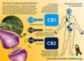 CB1 CB2 Receptor