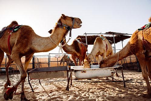 3 Monate Patenschaft für ein Kamel