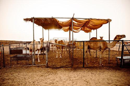 6 Monate Patenschaft für ein Kamel