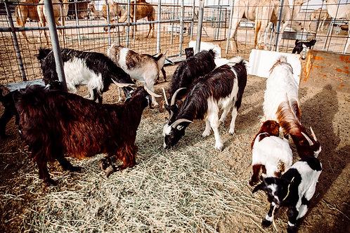 6 Monate Patenschaft für eine Ziege