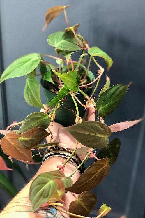 """Philodendron Micans 4"""""""