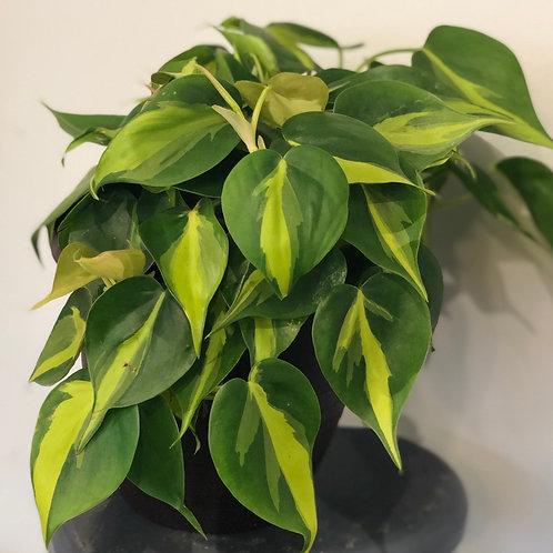 "Philodendron ' Brasil' 4"""