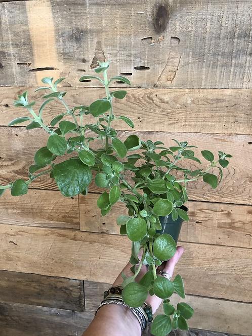 Vicks Plant (Plectranthus)