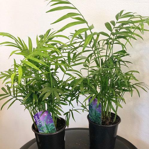 Palm 'Neanthe Bella' ( Parlour Palm)