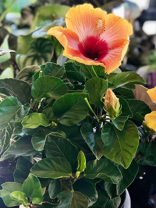 Hibiscus Assorted Colours(Pink/Red/ Yellow