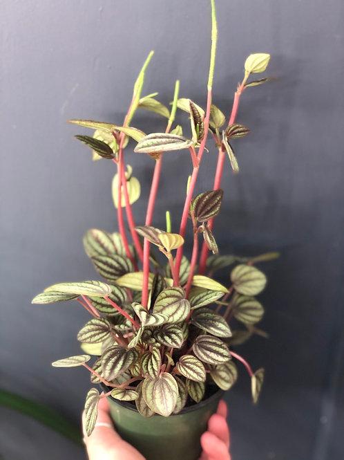 Peperomia Picolo Bando