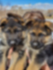 ona&votan_pups males 7 weeks.jpg