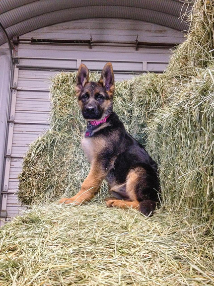 winnie taurus pup 3.5 month old.jpg