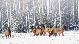 winter elk.jpg