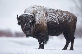 winter bison.jpg