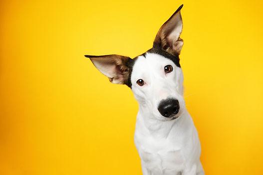 "<img src=""dog first aid.jpg"" alt=""Animal Love dog first aid online zoom course"">"