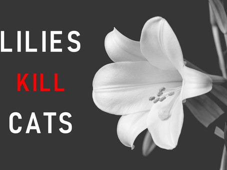 Toxic Lilies - The toxicity threat to your cat