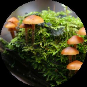"<img src=""mushroom.jpg"" alt=""funeral bell mushroom"">"