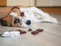 "<img src=""dog with chocolate.jpg"" alt=""dog first aid chocolate toxicity"">"