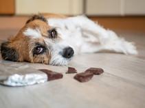 "<img src=""dog with chocolate.jpg"" alt=""dog first aid chocolate toxicity"">"